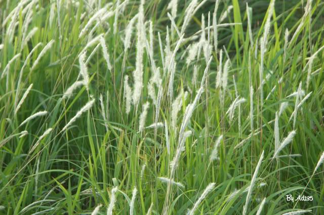Thân rễ cỏ tranh