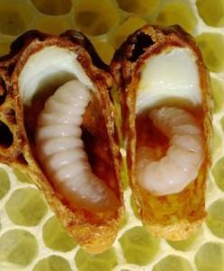 cong-dung-cua-sua-ong chua-tuoi-1