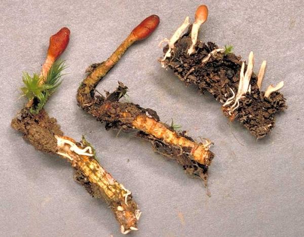 Đông trùng hạ thảo giá gần một tỷ đồng 1 kg