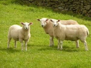 Tinh chất nhau thai cừu có công dụng làm đẹp da