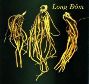 Rễ cây long đởm