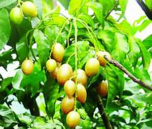 Cây Hồng Bì