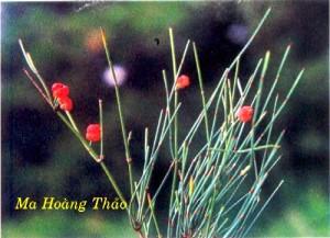 Cây thảo Ma hoàng