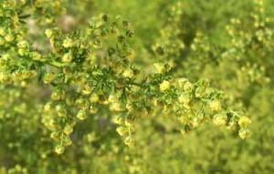 Cây thanh hao hoa vàng