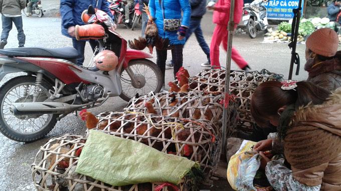 Lo gà Trung Quốc nhập lậu