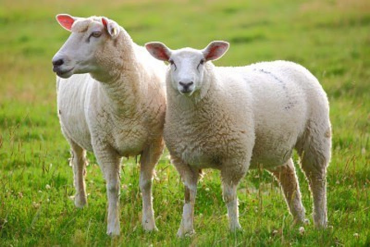Sheep_myphamtaydo_com