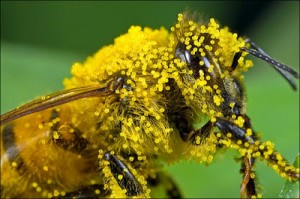 Phấn của ong