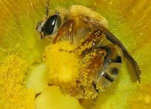 Tác dụng phấn ong