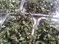 Cách trồng trọt cây chùm ngây và những ứng dụng mà bạn nên biết