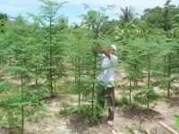 Kĩ thuật trồng cây chùm ngây và ứng dụng thực tiễn trong đời sống