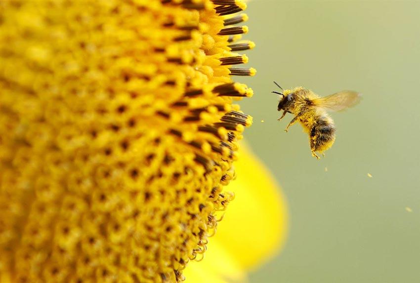 tác dung của phấn hoa