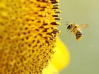 Tác dụng của phấn hoa trị mụn và chống lão hóa da