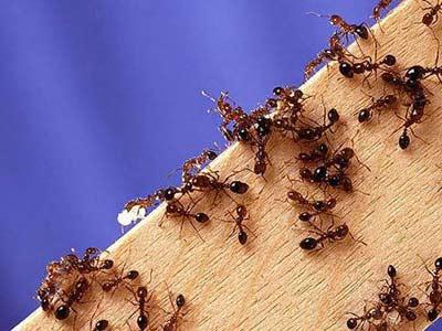 Cách phòng chống và diệt kiến trong nhà mà bạn cần biết