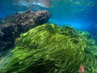 Tảo xoắn biển Spirulina