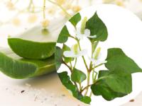 Bài thuốc trị mụn trứng cá từ rau diếp cá và cây lô hội