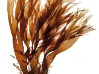 Rong nâu chứa Fucoidan