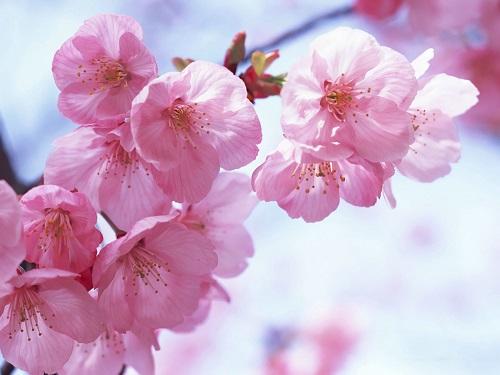 Hoa đào là một loại mỹ phẩm làm đẹp da từ thiên nhiên