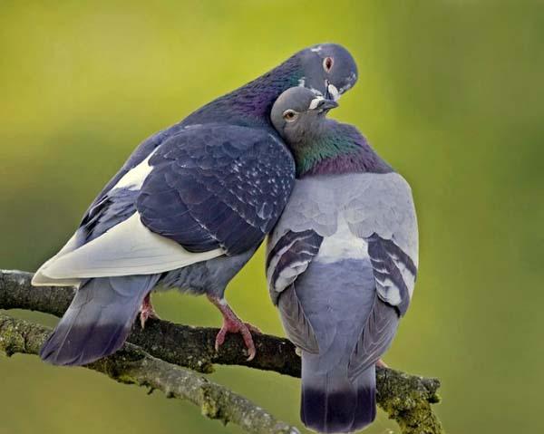 Cháo thịt chim bồ câu – Kích thích tình dục mạnh mẽ