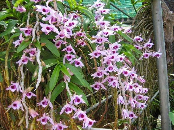 Thực hư dùng hoa phong lan phi điệp chữa yếu sinh lý
