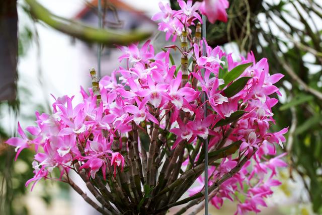Đặc điểm hoa lan phi điệp