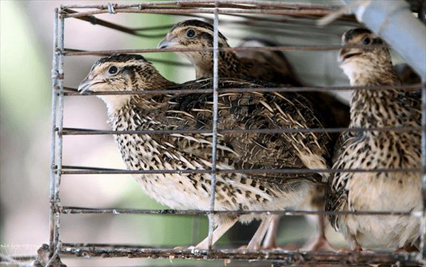 Thịt chim cút có tác dụng bổ hư ích khí, thanh lợi thấp nhiệt