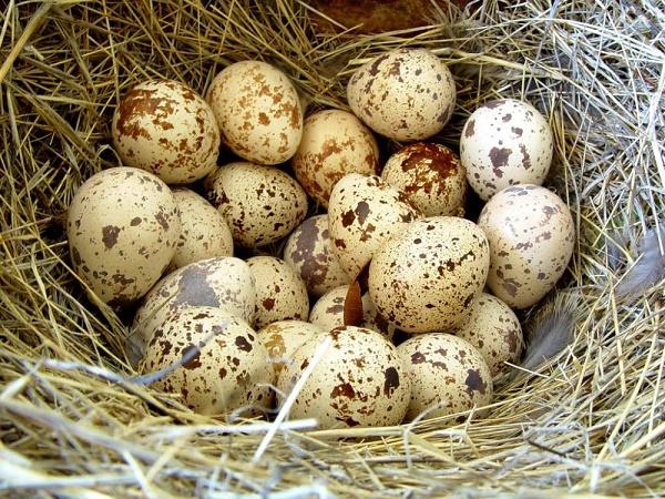 Trứng chim cút, bạch cập