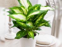 Cách chăm sóc cây Vạn Niên Thanh và một số bệnh thường gặp