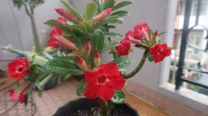 3 cách chăm sóc cây sứ tại nhà