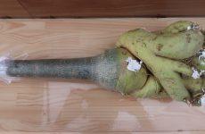 Những cách hạn chế bệnh thối củ ở cây sứ Thái