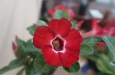 Có nên trồng cây sứ cảnh trước nhà?