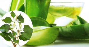 Bật mí 5 cách trị mụn bằng rau diếp cá hiệu quả tại nhà