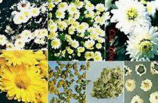 Hoa cúc: Kháng khuẩn, tiêu viêm hiệu quả