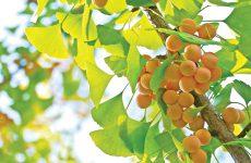 Những điều nhiều người chưa biết về cây bạch quả