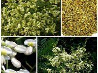 Hoa hòe chữa bệnh trĩ hiệu quả