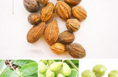 Quả chiêu liêu hồng trị bệnh đường hô hấp hiệu quả